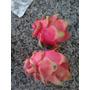 Pitaya,fruta Dragón,hylocereus Undatus,dragon Fruit Semillas