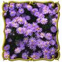 Aster De Las Praderas -tanacetifolia - Semillas Para Plantas