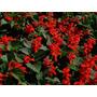 Salvia Rojo Fuego, Salvia Splendens - Flor Semillas