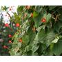 Campanilla Estrella Roja Ipomoea Coccinea Semillas