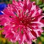 Bachelors Button Roja Centaurea Cyanus Semillas P/ Plantas