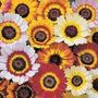 Crisantemo Tricolor Carinatum Flor Semillas Para Plantas