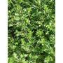 Artemisia, Artemisia Vulgaris Semillas Para Plantas
