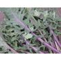 Semillas De Kale Red Russian
