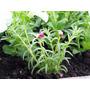 Portulaca Flor Semillas Para Plantas