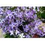 Alheli Nocturno Flores Muy Perfumadas Semillas Para Plantas