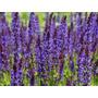 Salvia Nemorosa Verticillata Flor Semillas Para Plantas
