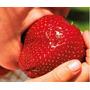 Frutillas Gigantes De Verdad No Son Chinas Semillas Frescas