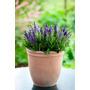 Salvia Nemorosa Verticillata Semillas Para Plantas Perennes