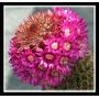 50 Semillas De Cactus Mammillaria Backebergiana Frescas