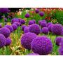 Semilla De Allium Gigante Violeta Premium Planta Ornamental