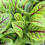 Acedera Venas Rojas - Rumex Sanguineus - Hierba - Semillas