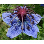 Semillas De Flor Araña Azul Únicas En Argentina!!!