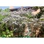 Semillas De Acacia Baileyana ( 7 U. ) - Color Violeta