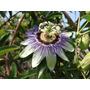 Semillas Mburucuyá Passiflora Coerulea Maracuyá Azul Flor