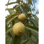 Purui Marmelo Alibertia Edulis Frutal Fruta Árbol Semillas