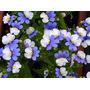 Nemesia Escarapela - Flor - Semillas Para Plantas
