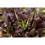 Semillas Mustard Magma (variedad De Mostaza) Organicas