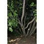 Higueron - Arbol - Bonsai Semillas Para Plantas