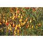 Semillas De Manzana De Los Canguros Solanum Aviculare Fruta