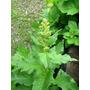 Espárrago Del Pueblo Chenopodium Espinaca Semillas P/plantas