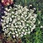 Nomeolvides Blanca Myosotis Alpestris Semillas P/plantas