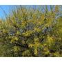 100semillas Autóctonas-espinillo - Aromito - Acacia Caven -