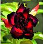 Semillas De Rosa Del Desierto - Black Eagle