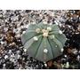 20 Semillas De Cactus Astrophytum Asterias Nudum Flor Rosada