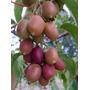 Kiwi Rojo Actinidia Melanandra Fruta Trepadera Semillas