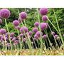 Allium Giganteum - Semillas Para Plantas