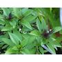 Albahaca Tailandesa, Thai Basil - Semillas Para Plantas