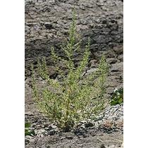Hierba Ambrosia, Chenopodium Botrys Semillas Para Plantas
