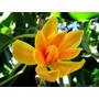 Magnolia Amarilla Champaka Joy Perfume Tree Árbol Semillas