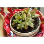 Cactus Y Suculentas En Canastitas Colgantes
