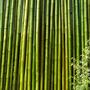 Caña Tacuara Bambu Cercos Decoración Largo 3 Metros