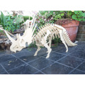 Esqueleto Dinosaurio Para Armar - Triceratops - Gran Tamaño