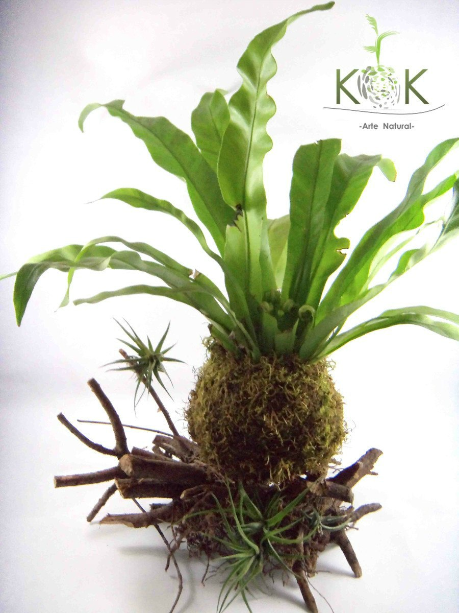 kokedama on pinterest string garden clusia and bonsai. Black Bedroom Furniture Sets. Home Design Ideas