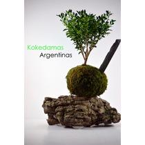 Kokedama De Buxus, Plantas En Musgo Kokedamas Argentinas