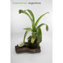 Kokedama De Bromelia,plantas En Musgo Kokedamas Argentinas