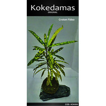 Kokedamas Original - Croton Fideo - Kok Arte Natural
