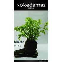 Kokedamas Original - Helecho Arroz - Kok Arte Natural