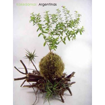 Kokedama De Erica Plantas En Musgo & Kokedamas Argentinas