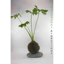 Kokedama De Philodendron, Plantas En Musgo...únicas