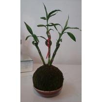 Kokedama - Bambú De La Suerte - Lucky Bamboo