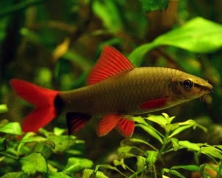 Peces de acuario imagui for Peces tropicales