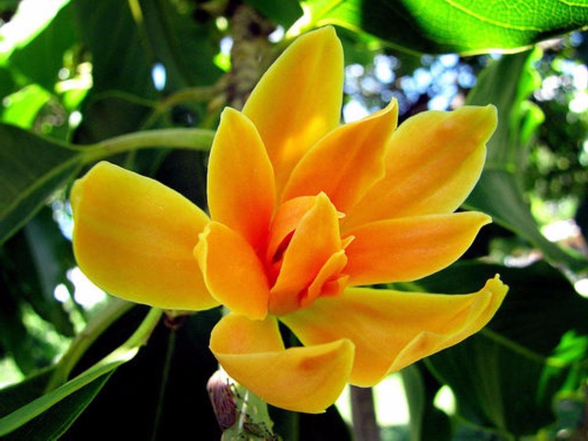 Rey de las plantas magnolia amarilla champaka - Semilla de magnolia ...