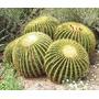 50 Cactus Echinocactus Grusonii - Semillas Para Plantas