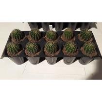 10 Cactus Enraizados Para Souvenirs Y Regalos (art.100 )