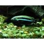 Melanochromis Auratus Machos De 8 Cm O Mas ,reproductores
